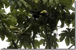 Keel billed Toucan flying