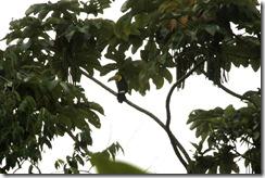 Keel Billed Toucan sitting on a tree