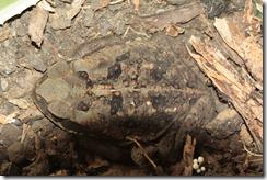 Big Toad close up