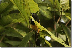 Black Cowlerd Oriole