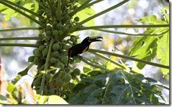 Aracari in papaya tree