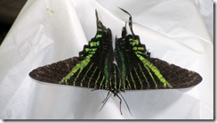 Green striped moth