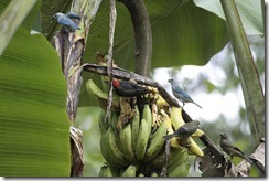 More birds on a banana plant
