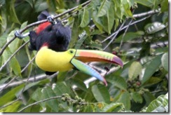 Toucan eating a bug
