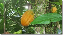 Cacao fruit 2