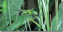 Green Canopy Lizard