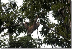 Two toed sloth (2)