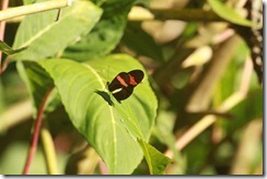 Red striped butterfly