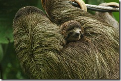 Baby sloth hanging on