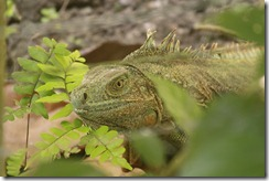 Female iguana close up