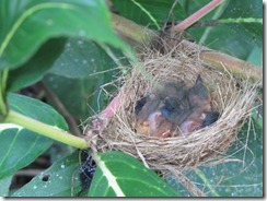 Baby birds on June 24