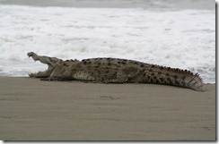 crocodile_playa_negra1