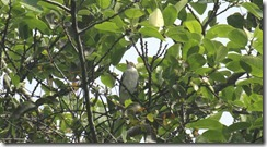 Female Masked Tityra (2)