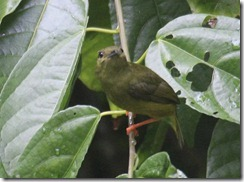 Female white collared manakin