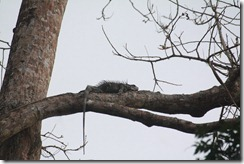 Female Iguana in Tree