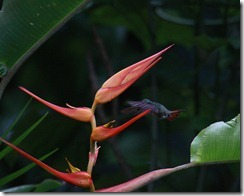 Hummingbird on a Heliconia