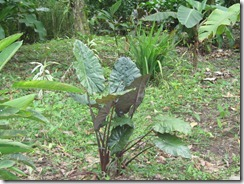 Another type of elephant ear plant