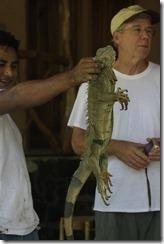 Iguana ready to go back on the tree