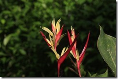 Red and yellow heliconia