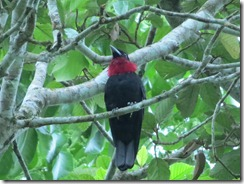 Red Throated Fruitcrow