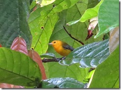 Pronthonatry warbler