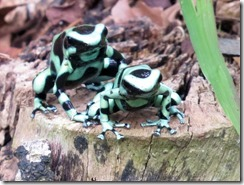 Two Poison Dart Frogs