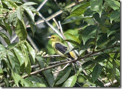 Black and Yellow Tanager 1