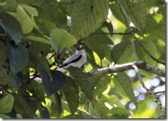 Black Crowned Tityra