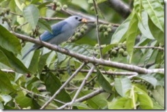Blue Gray Tanager with seed in mouth