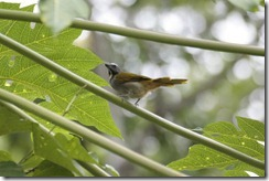 Buff throated Saltator