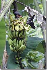 Chestnut Oropendolas