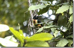 Collared Aracari head turned