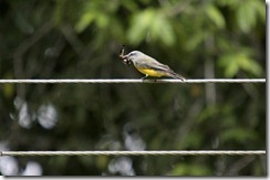 Gray capped flycatcher eating butterfly