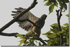 Roadside hawk wings spread