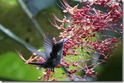 Rufous tailed Hummingbird 2