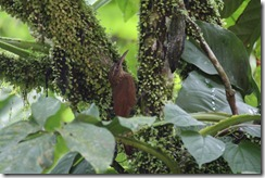 Strong Billed Woodcreeper