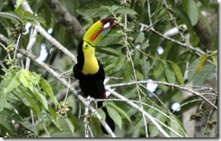 Toucan eating berries 2 (2)