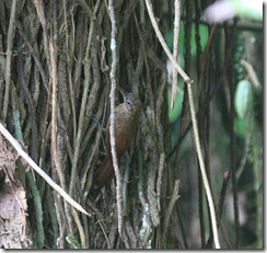 Woodcreeper Spotted Headed maybe