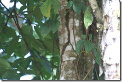 Woodcreeper Wedge Billed