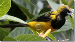 Yellow tailed oriole 1