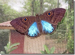 Butterfly on the window 1