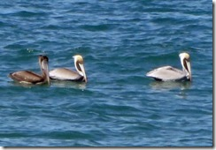 Three Pelicans in the ocean