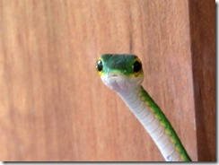 Green vine snake up close (1)