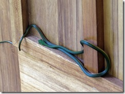 Green vine snake up close (2)