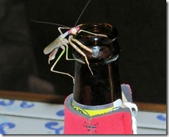 Praying mantis on beer bottle