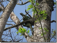 Iguana high in the tree