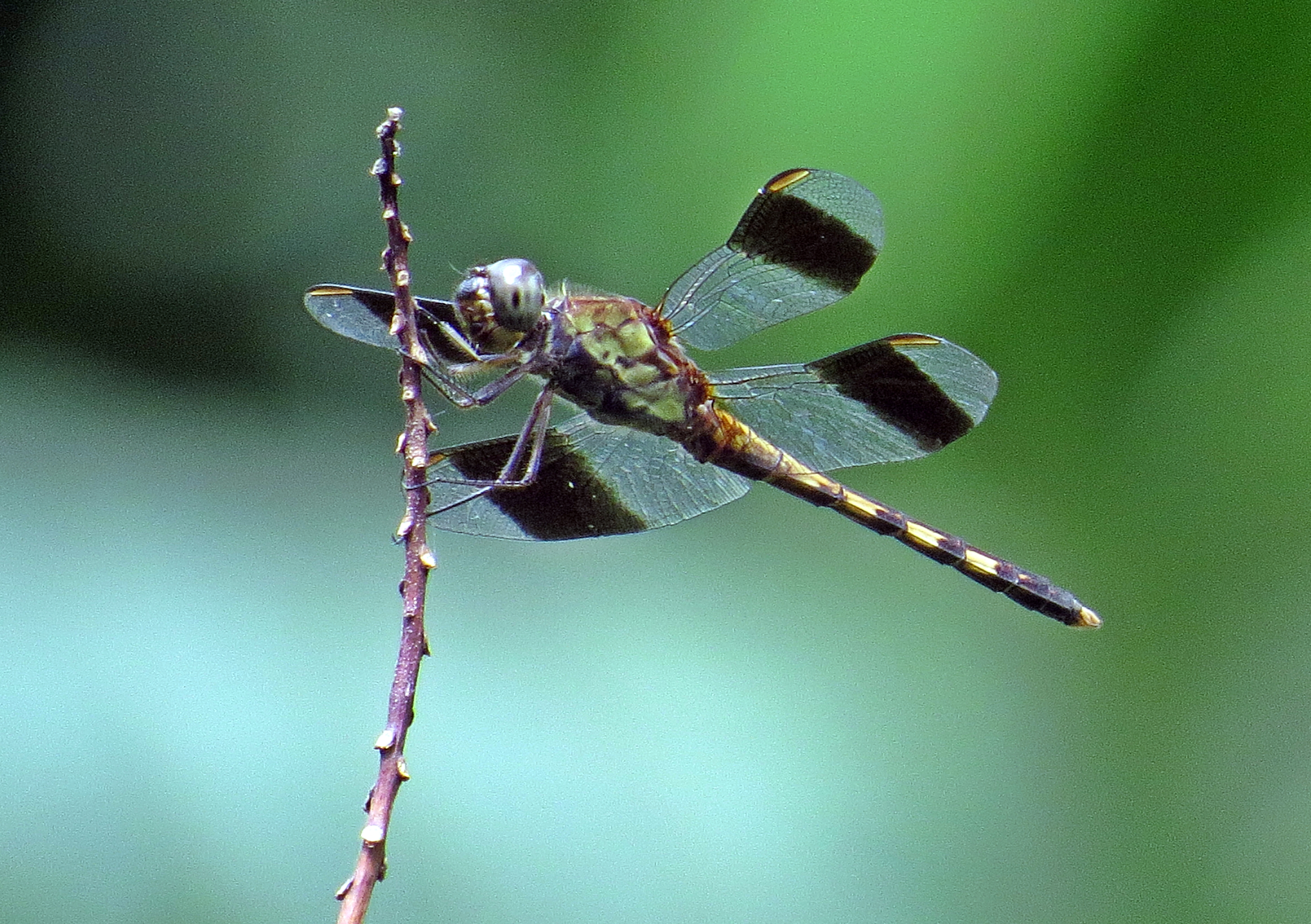 Black winged dragonfly - photo#7