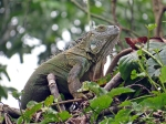 Female green iguana